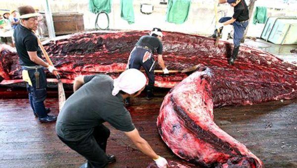Jap n pretende cazar ballenas nuevamente noticias telesur - Equilibrio en japones ...