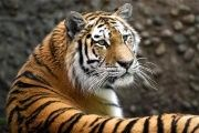 Tigers remain critically endangered due to hunting and habitat destruction. (Photo: Reuters)