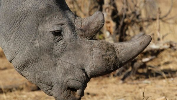 The global trade in ivory and rhino horns is big business. (Photo: Reuters)