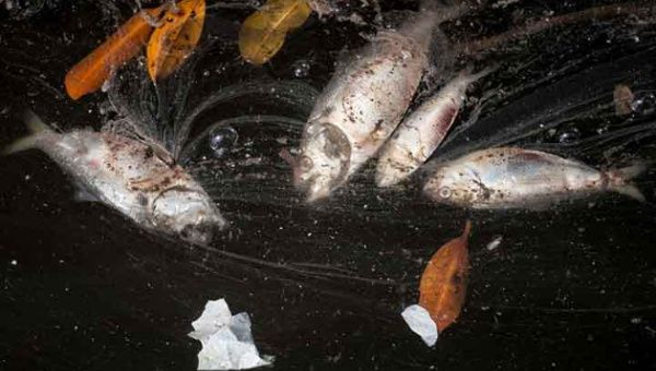 20 tons of shads, a species of fish, have been found agonizing and dying in the bay. (Photos: AFP)