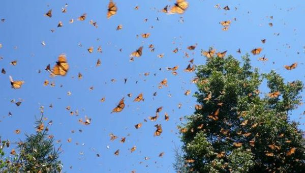 8 of the worlds natural resources are in danger monarch butterflies in mexico