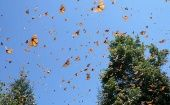 Monarch butterflies in Mexico's monarch reserve. (Photo: RevolucionTresPuntoCero)