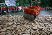 A back hoe crushes confiscated smuggled elephant tusks at the Parks and Wildlife center in Quezon City, Metro Manila on June 21, 2013. (Photo: Reuters)