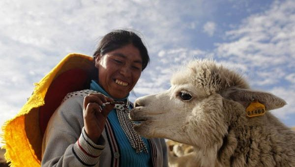 Shepherd  feeds a llama in the highlands of Cuzco. (Photo: Reuters)