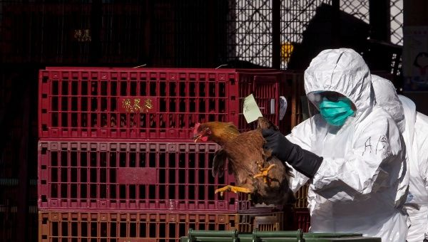 A health worker culls chicken at a wholesale poultry market in Hong Kong December 31, 2014