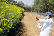 A scientist points to a patch of GM rapeseed crop under trial in New Delhi.