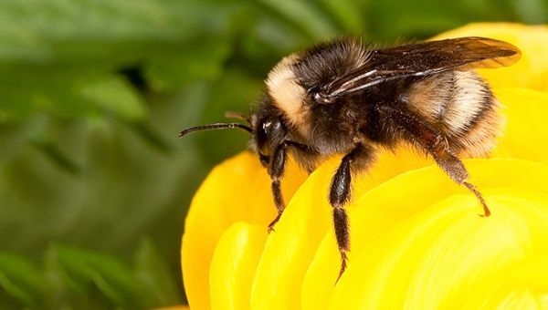 Honeybees, both domestic and wild, are responsible for 80% of the world's pollination according to a Greenpeace report.