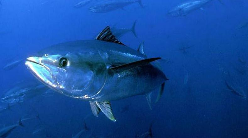 Atún rojo: pese a que se han tomado medidas para reducir su pesca, es el ingrediente principal del sushi.