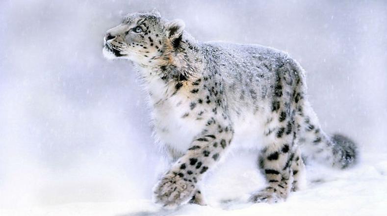 Leopardo de las nieves: esta especie se ve amenazada por la invasión de su hábitat por el hombre en China, Pakistán, India y Nepal.
