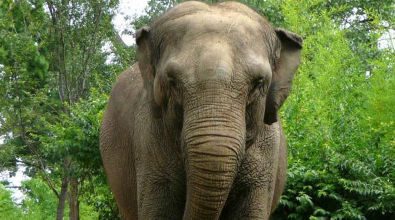 Elefante asiático: en peligro debido a la deforestación de las zonas que ocupan, y a su caza furtiva para obtener el preciado marfil de sus colmillos.