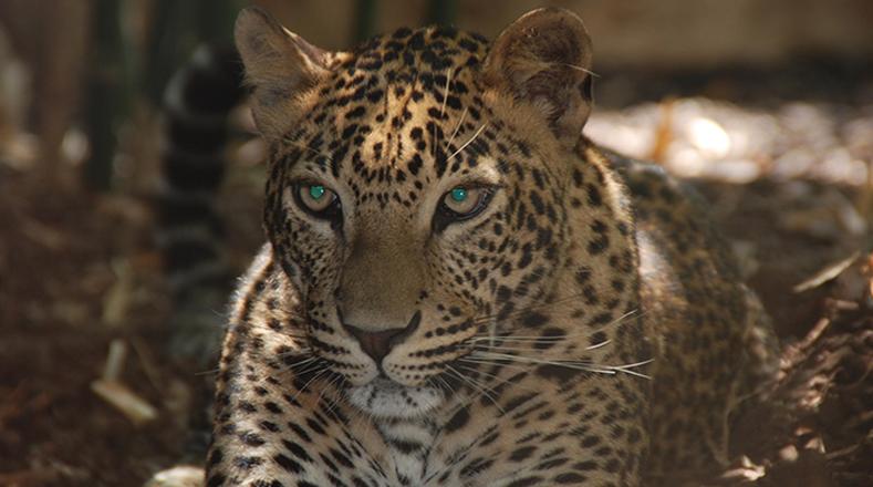 Jaguar: la principal razón que está haciendo desaparecer al jaguar es que son cazados para comercializar su piel.