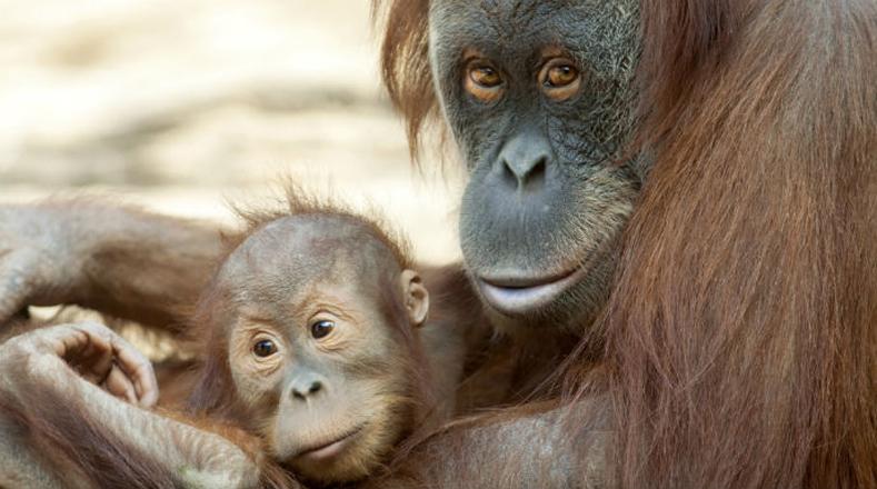 Orangután de Sumatra: su caza y venta como mascotas y las grandes industrias de extracción de aceite de palma son las causas de su crítica situación.