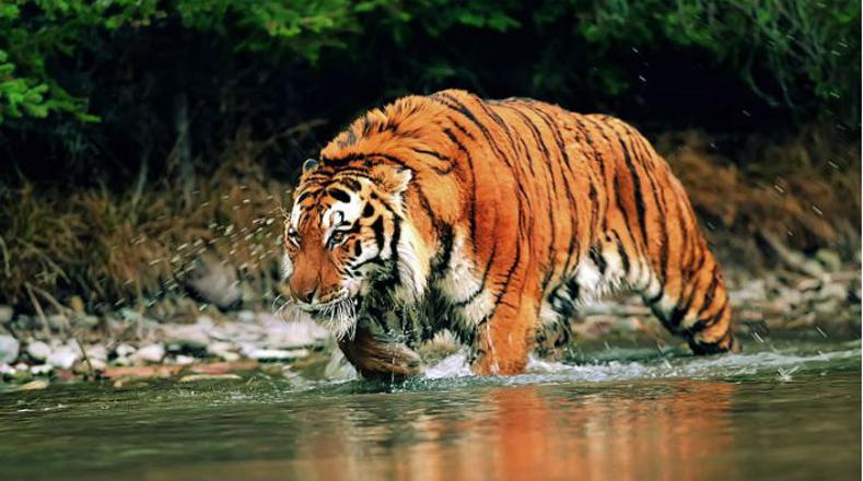 Tigre: su población ha disminuido a más de 60 por ciento por la invasión humana de su hábitat y por la caza furtiva (también se le atribuyen poderes en la medicina oriental).