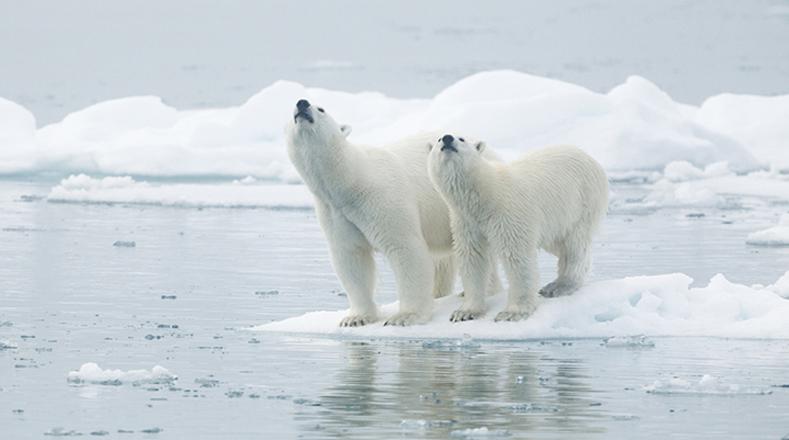 Oso polar: Es quizás la mayor víctima de los efectos del cambio climático. Su hábitat lleva varias décadas viéndose seriamente amenazada por el derretimiento de los polos del Ártico, lo que provoca el aislamiento de la especie.