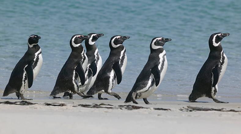 Pingüino de Magallanes: La subida generalizada de temperaturas en el planeta es causante de la crítica situación de esta clase de pingüinos originaria del sur de Argentina.