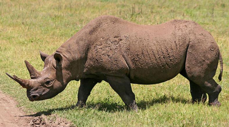 Rinoceronte de Java: cazado sobre todo por sus propiedades que se le atribuyen a su cuerno en la medicina tradicional china y como objeto decorativo. Sólo existían cerca de 29 ejemplares en la isla de Java, Indonesia, en 2012.