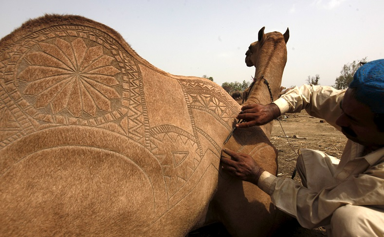 A sacrificial camel gets a haircut with patterns at the animal market on the outskirts of Karachi, Pakistan.