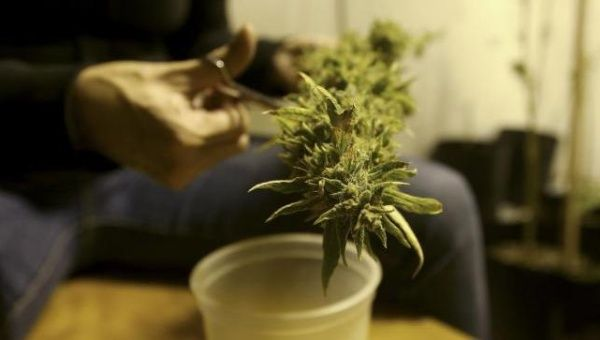 A marijuana home grower works on a marijuana flower in Montevideo in this March 7, 2014.