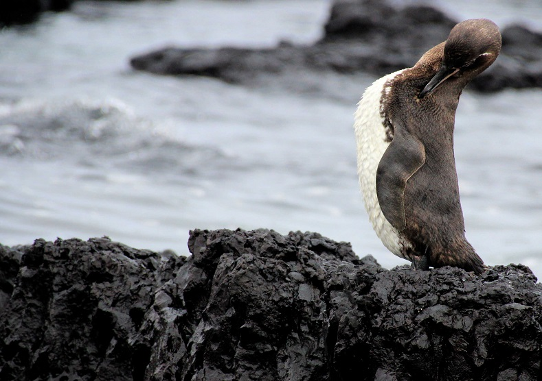 The Galapagos penguin is not only the world