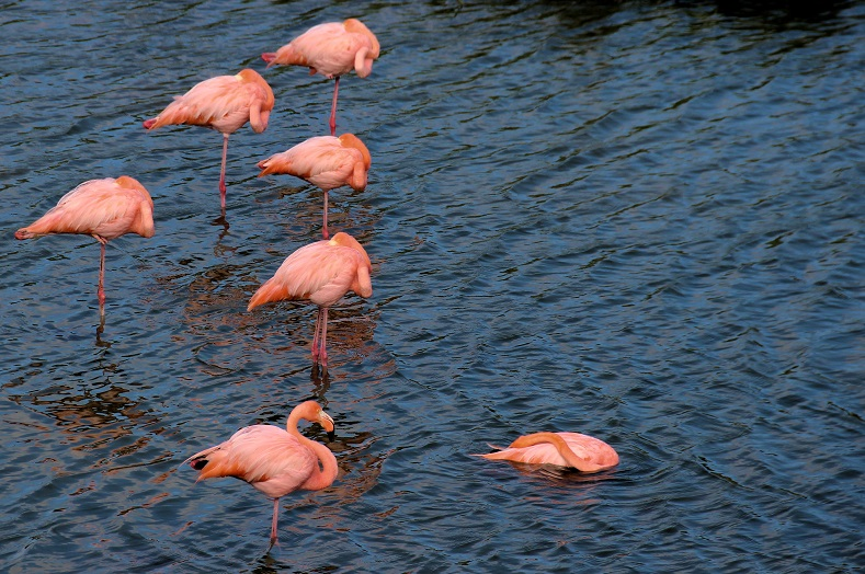 Perhaps one of the most surprising species of bird to be found on the islands is the Galapagos flamingo. With a population of less than 400, this species has the smallest population of any flamingo variety in the world, and is a startling sight in these far flung islands.