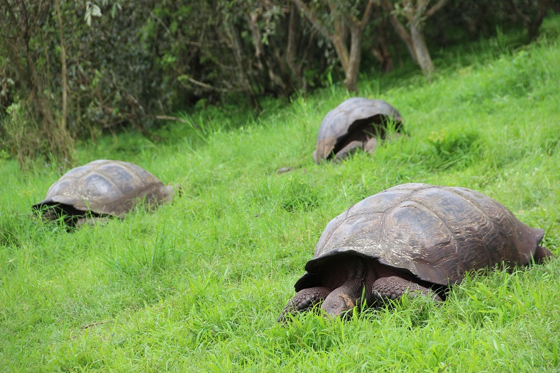And of course, the most famous inhabitant of the islands: the giant tortoises. The Galapagos is just one of two places in the world where giant tortoises can still be found in the wild, and have lived on the archipelago for as long as 3 million years.