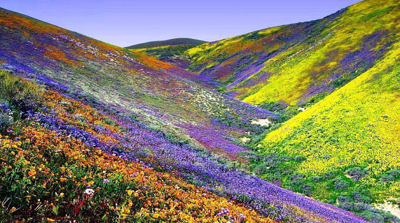 Thousands of flowers including the borarea ovallei, a species endemic to Chile and the colondrina congiscapa have turned the desert into a multicolor spectacular.