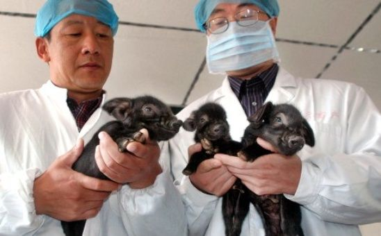 Desde el año 2000, los científicos chinos han clonado ovejas, reses y cerdos, aunque la primera compañía comercial de clonación fue abierta en septiembre de 2014.
