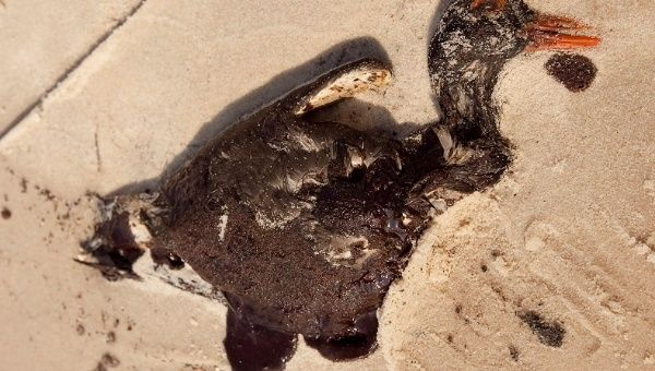 "A dead ""Oyster Catcher"" coated with heavy dark crude oil from the BP Deepwater Horizon spill, July 2010."