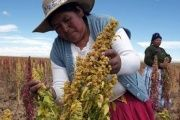 Peruvian women check their quinoa crops.