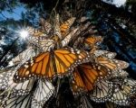 The butterflies congregate, clustering onto pine and oyamel trees.