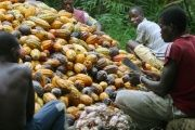 Ivorian farmers break cocoa nuts in Agboville, Ivory Coast.
