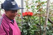 The rose industry employs thousands in Ecuador.