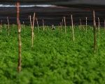 A marijuana plantation in Chile extends as far as the eye can see.
