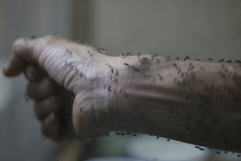 The forearm of a public health technician is seen covered with sterile female Aedes aegyti mosquitoes after leaving a recipient to cultivate larvae, in a research area to prevent the spread of Zika virus and other mosquito-borne diseases, at the entomology department of the Ministry of Public Health, in Guatemala City, Jan. 26, 2016.