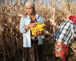 Farmers harvest corn in Kyrgyzstan.