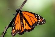 Officials from Mexico, the U.S. and Canada will discuss mechanisms to protect the monarch butterflies and their hibernation habitat.