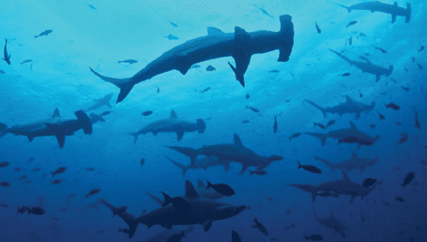 Sharks are increasingly vulnerable despite their protected status in the Galapagos.