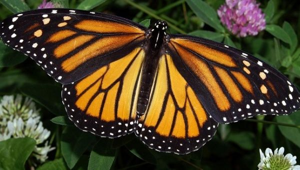 The annual migration of monarch butterflies across North America is considered one of the world