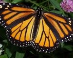 The annual migration of monarch butterflies across North America is considered one of the world's amazing natural phenomena.