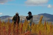 Falling Quinoa Prices Hit Bolivian Farmers Hard