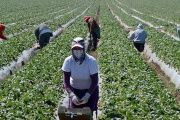 Migrant workers harvest strawberries at a farm near Oxnard, Calif. Ventura County is one of two counties where labor organizers hope to get a Bill of Rights passed to protect farm workers from abuse and wage theft.