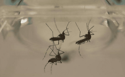 Aedes aegypti mosquitoes are seen at the Laboratory of Entomology and Ecology of the Dengue Branch of the U.S. Centers for Disease Control and Prevention in San Juan, March 6, 2016.
