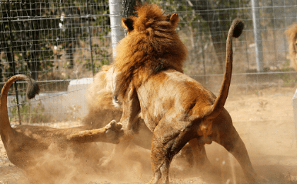 Some of the 33 lions rescued from circuses in Peru and Columbia fight after being released at their final destination at the Emoya Big Cat Sanctuary, outside Vaalwater in South Africa's northern Limpopo province, May 1, 2016.