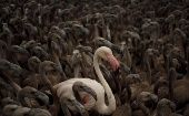 A flamingo and flamingo chicks in a corral at a lagoon in the Fuente de Piedra natural reserve, in Fuente de Piedra, near Malaga, southern Spain, on Aug 8, 2015.