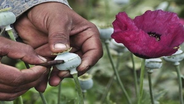 Mexico now worlds third biggest producer of opium poppy news a man lances a poppy bulb to extract the sap which will be used to make opium at a field in the municipality of heliodoro castillo in the mountain region mightylinksfo
