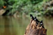 White-banded swallows perching on a tree stump on the bank of Rio Tiputini, Yasuni National Park, Ecuador.