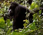 An endangered silverback mountain gorilla walks inside a forest in Bwindi National Park west of Uganda's capital Kampala.