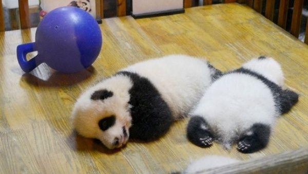 pandas still at risk despite endangered species list removal news
