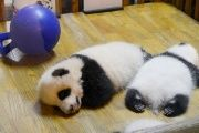 Panda cubs sleep at the Chengdu Research Base in China's Sichuan province.