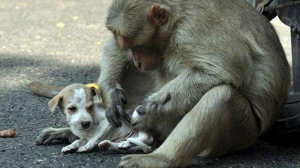 El espíritu protector del mono ha sido admirado por los habitantes de la localidad india.